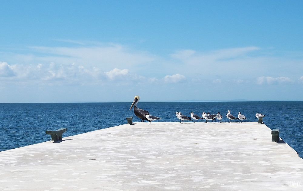 Kuuba Varadero pelikaani ja lokit