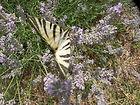 PICT0177 - papillon.jpeg