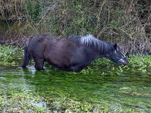 Poppy taking a dip in the stream