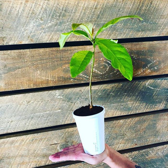 Our coffee cups are 100% compostable as