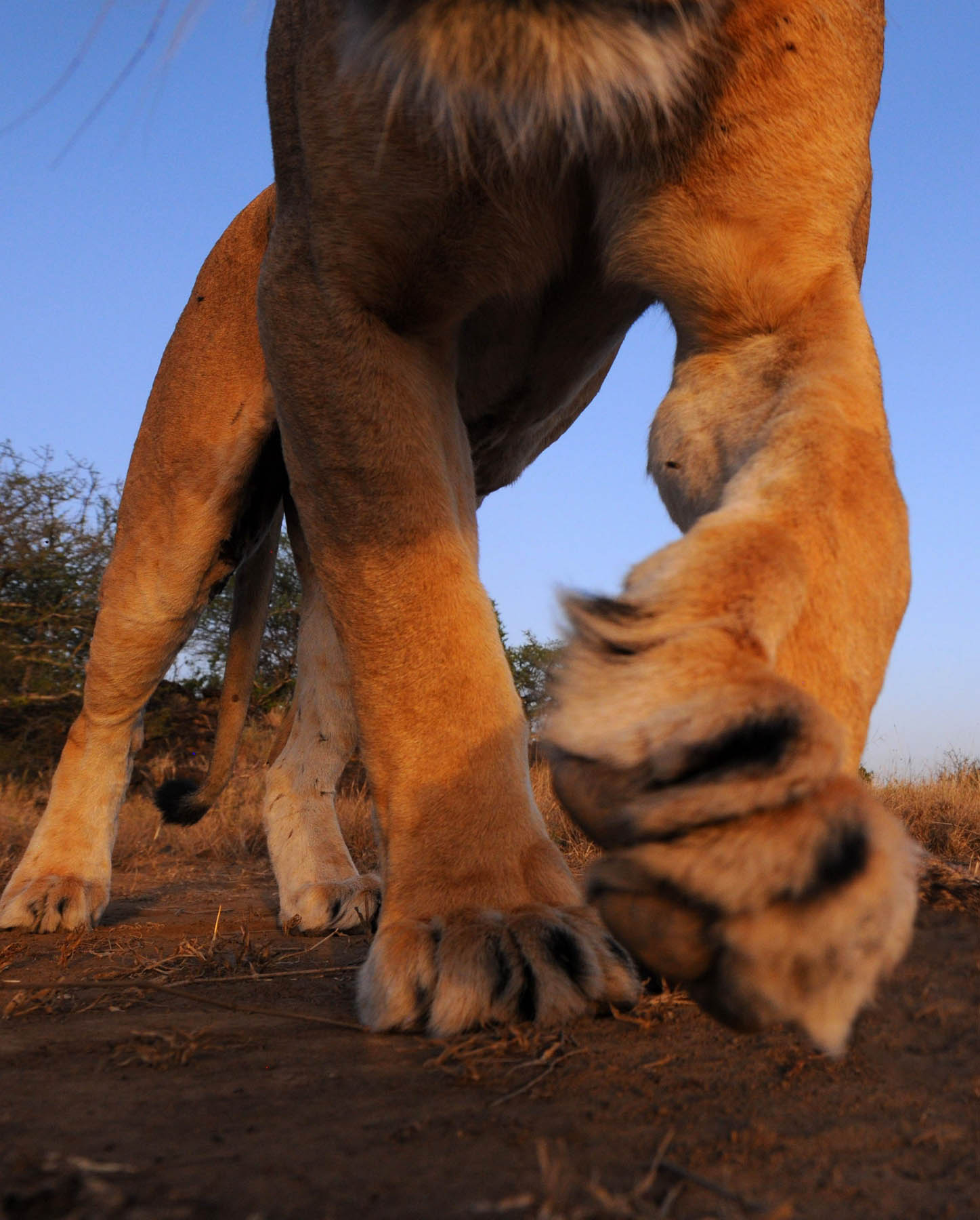 Lioness Approaches