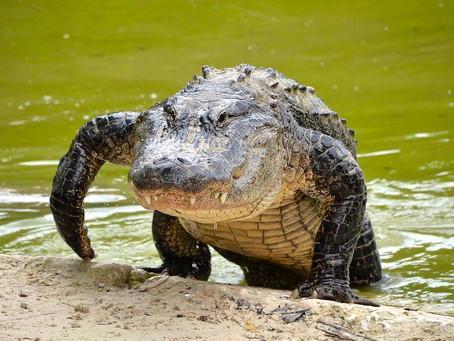 Symbols: Alligator
