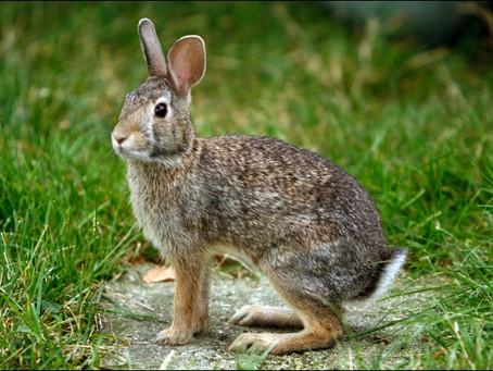 Symbols: Rabbit