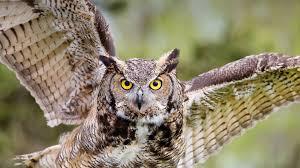 Symbols:  Owl
