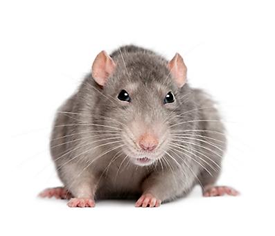 Symbols: Rats