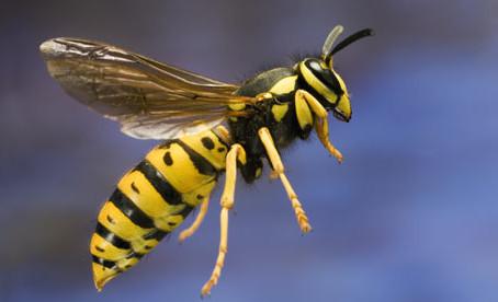 Symbols: Wasp