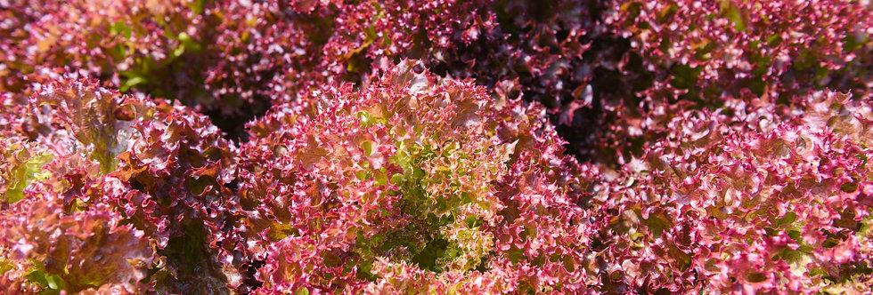 Temalpakh Red Lettuce