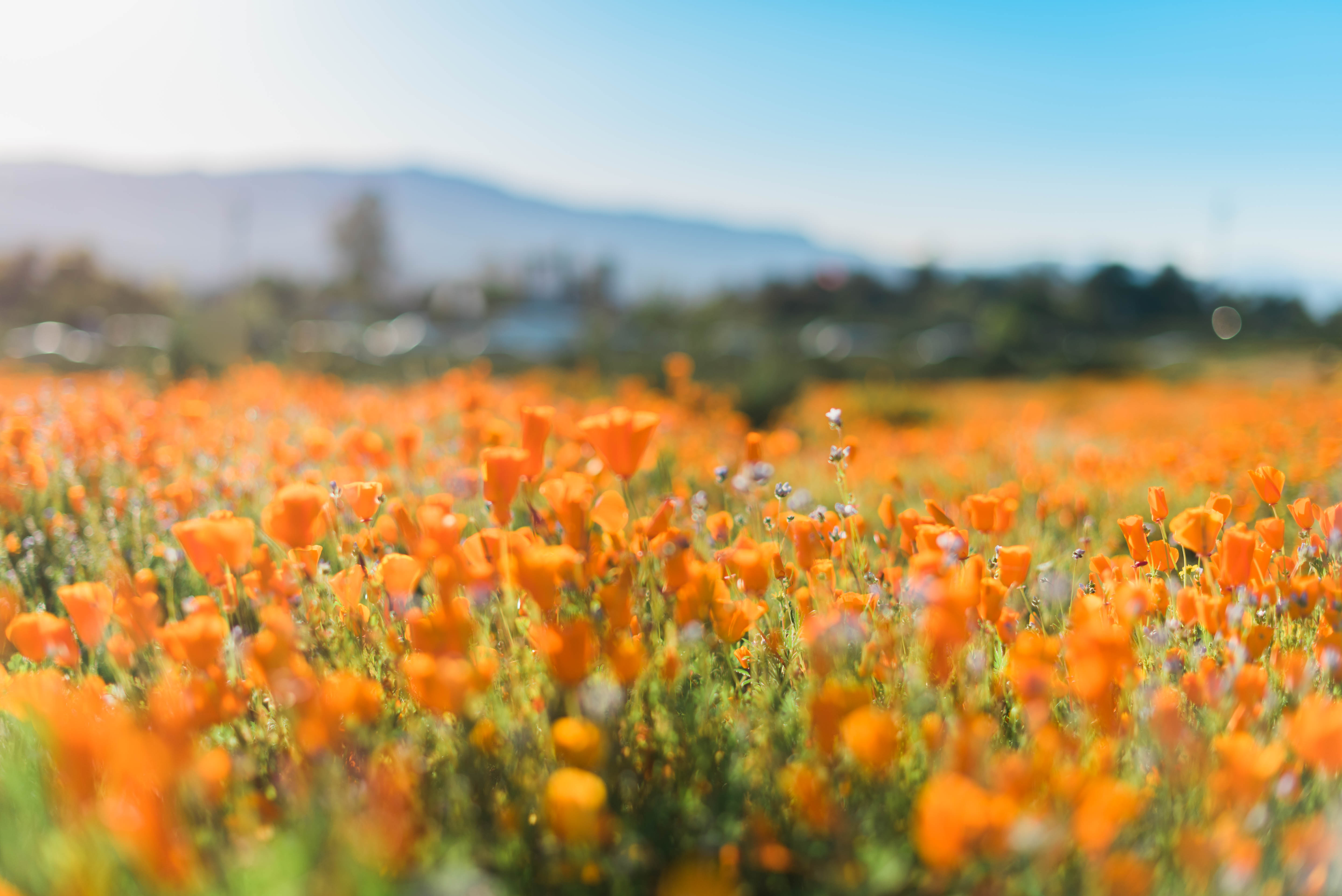 Poppies in Southern California 2