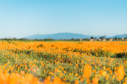 Poppies in Southern California 1