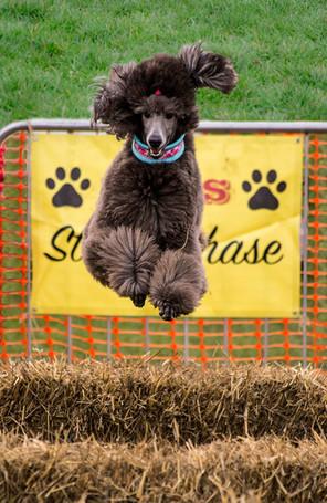 Doggy Steeplechase Left.jpg