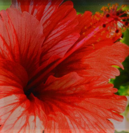 Hibiscus on Acrylic