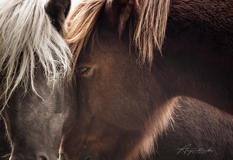 Pferdeportraits Islandpferde