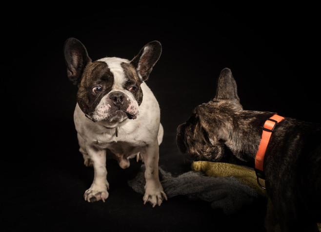 Französische-Bulldogge