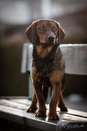 Alpenländische Dachsbracke Junghund