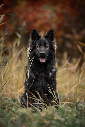 Schäferhund Hundefotografie Bern