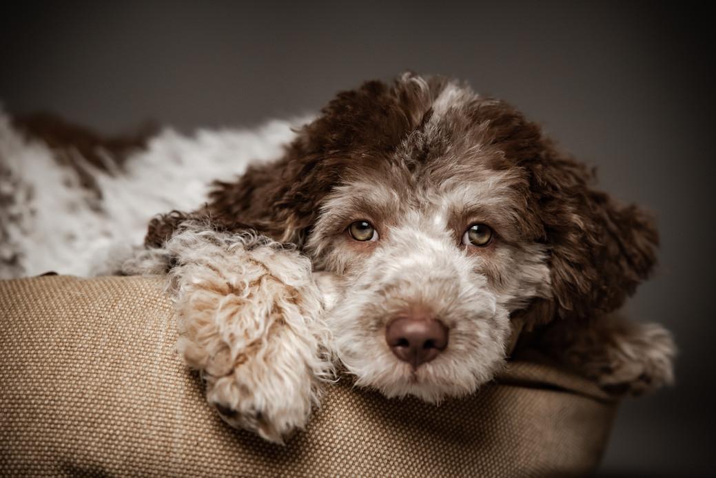 Studioaufnahmen Hundefotografie Bern