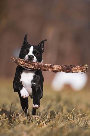 Boston Terrier Hundefotografie Tierfotog
