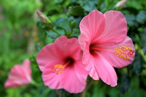 hibiscus photo.jpg