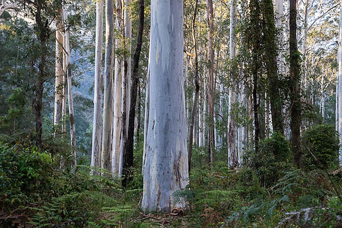 Blue Gum High Forest