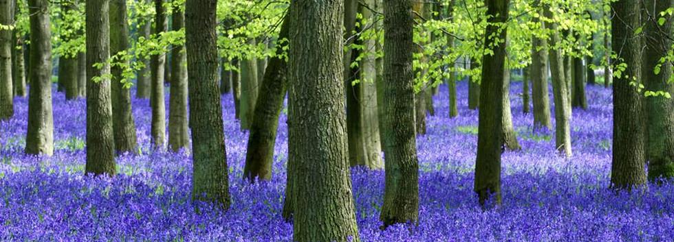 milton-park-bluebell-forest.jpg