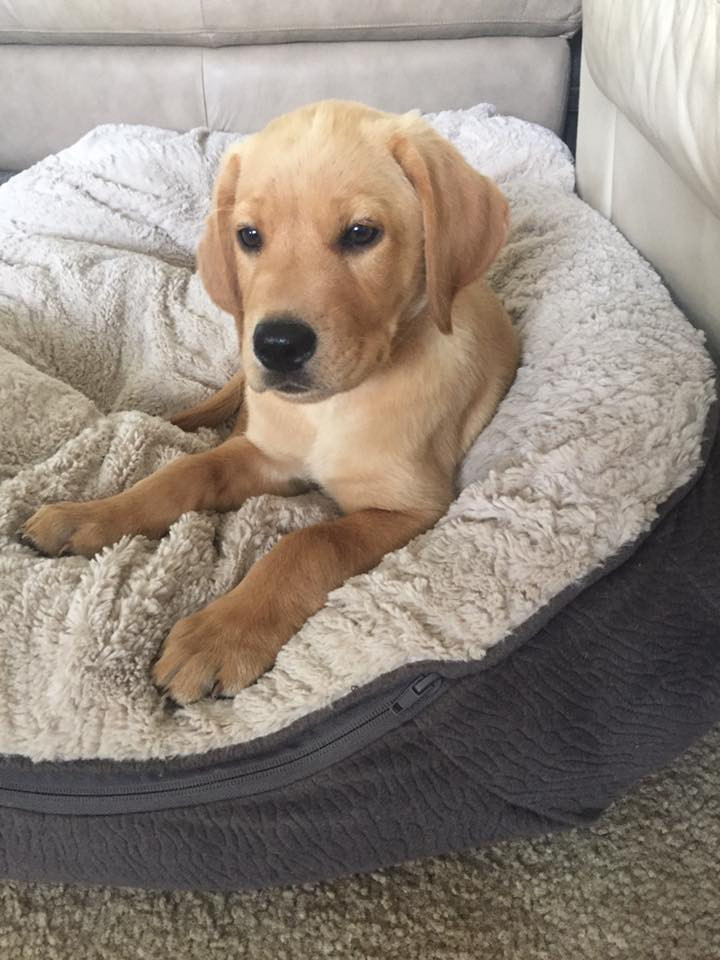 Harley - recent SmartyPaws Trainee
