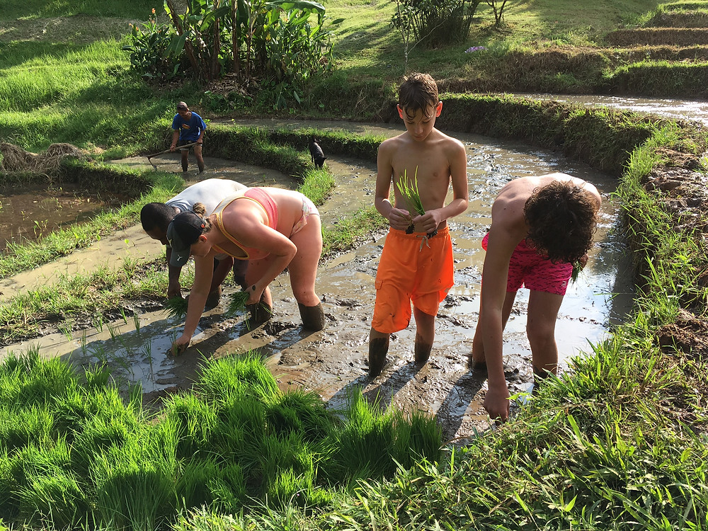 Today our guests helped plant the rice.