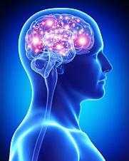Cerebro anatomia.jpg