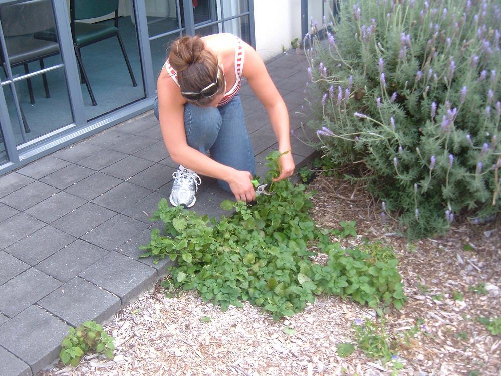 Harvesting herbs - Lemonbalm