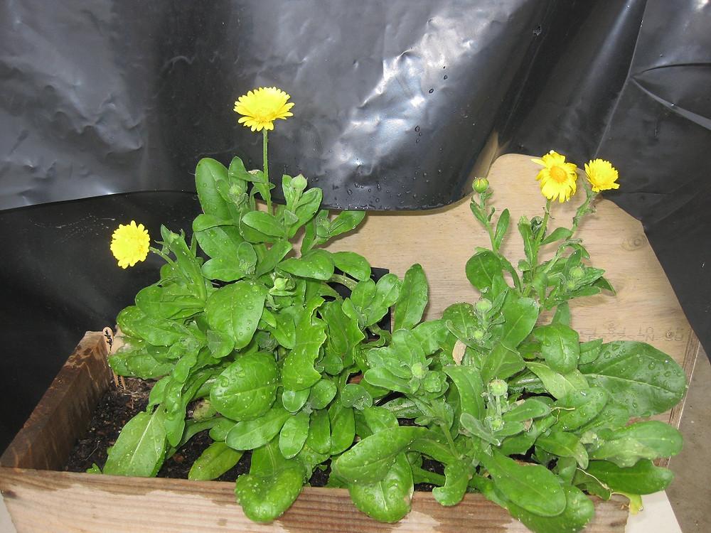 Calendula in a container garden