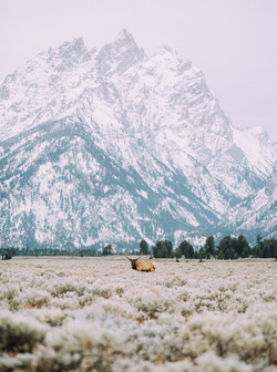 Bull Elk and the Grand Teton