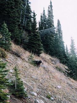 Mother Bear-Montana