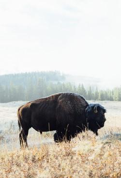 Bison-Sunrise-wildlife-buffalo-Yellowstone-National-park-wyoming-travel