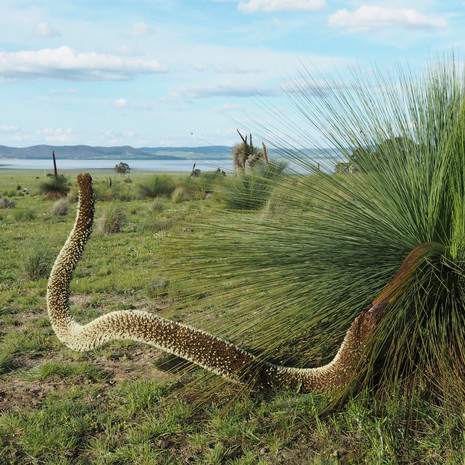 Mullungyulung Tree Snake