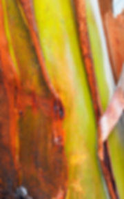 Ribbon gum eucalypt tree bark cinnamon bark and lime green smooth bark