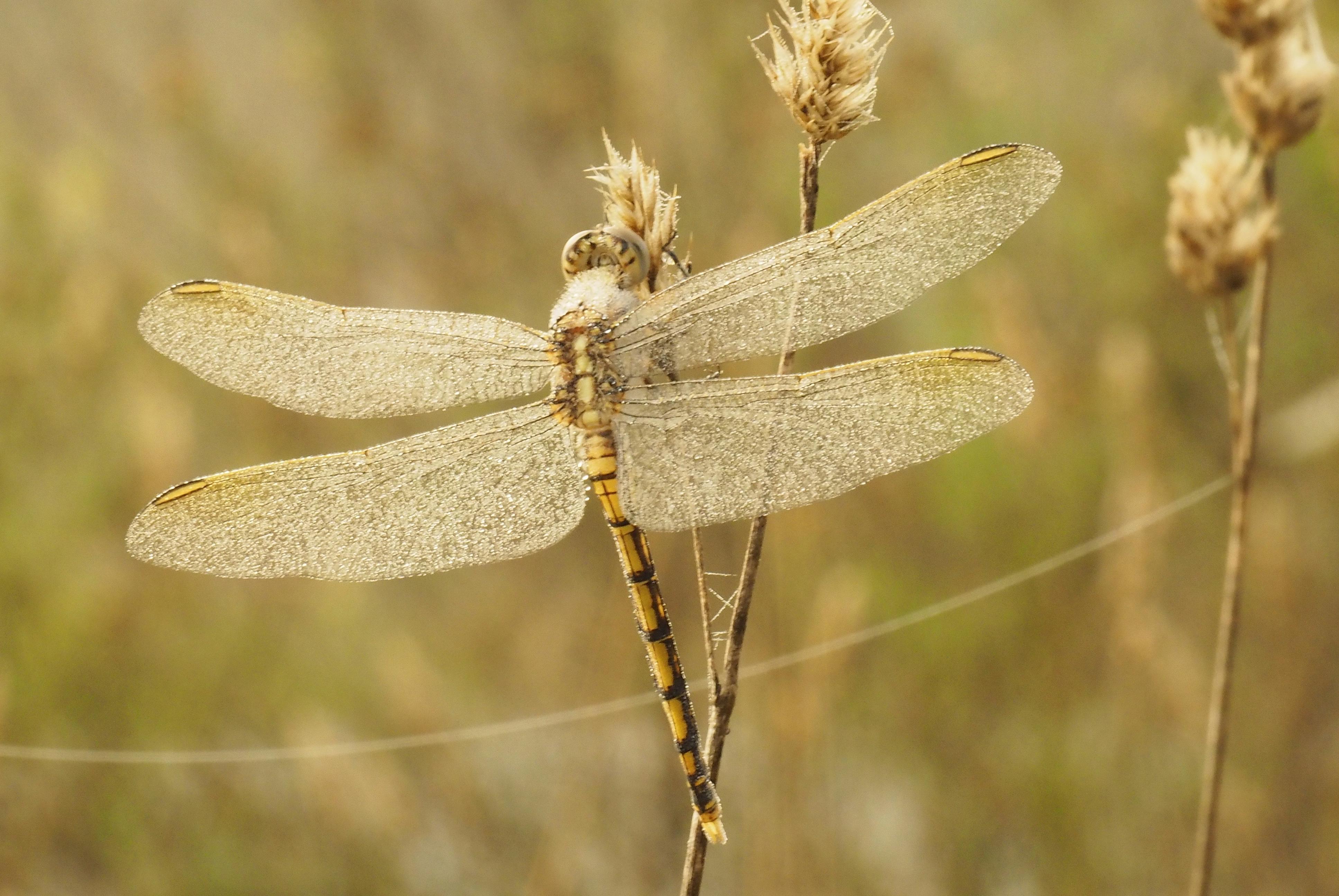 Gossamer Dragonfly Macs Reef