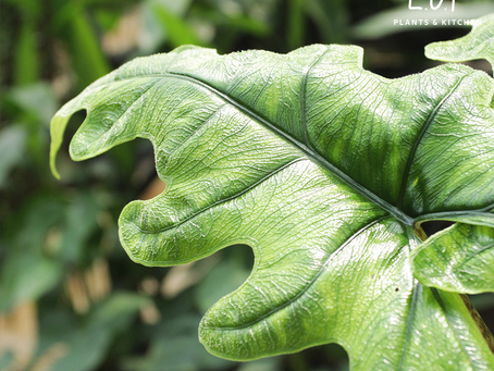 "Plant Of The Day: Alocasia sp. ""Jacklyn"" salah satu tanaman hias yang naik daun kala pandemi"