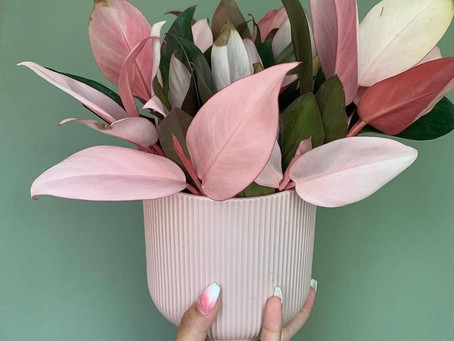 Plant Talk: Philodendron Pink Congo Controversy