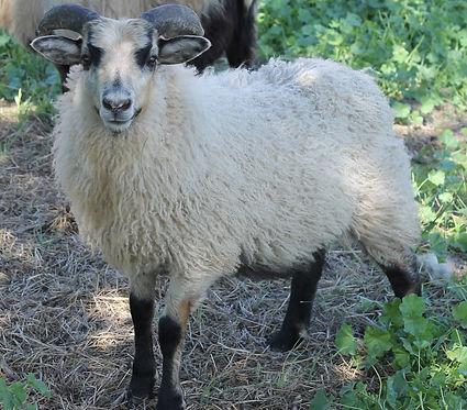 Mouton's 2020 ram 1.jpg