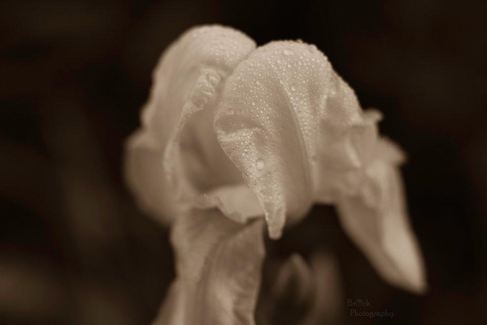 9619 White Iris 4-2-2018.jpg