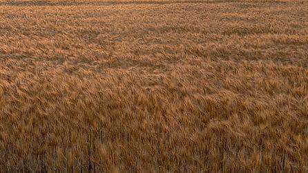 Wheat Harvest.jpg