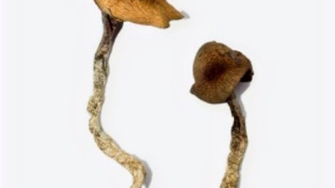 Daddy Log Legs | Psilocybin