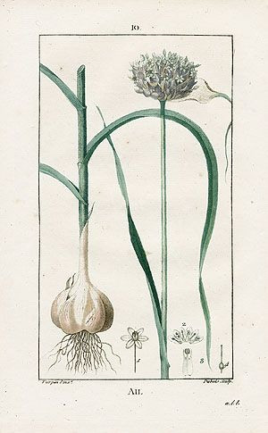 garlic bulb botanical print