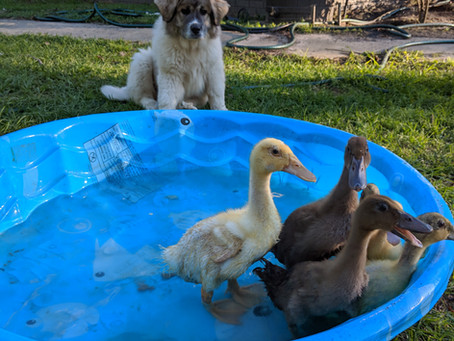 Ducklings, and Chicks, and Puppies...Oh my!!!