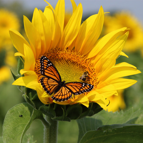 Sunflower-1000x1000px.jpg