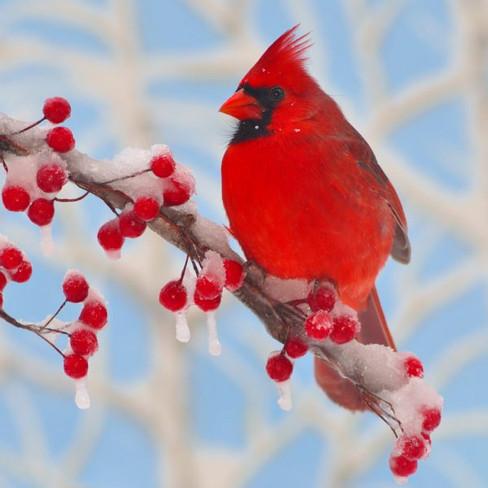 WInter-Cardinal-1000x1000px-600x600.jpg