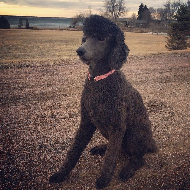 Poodle posing in front of a lake