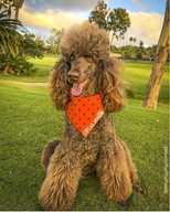 _maximillianthepoodle is looking so fly