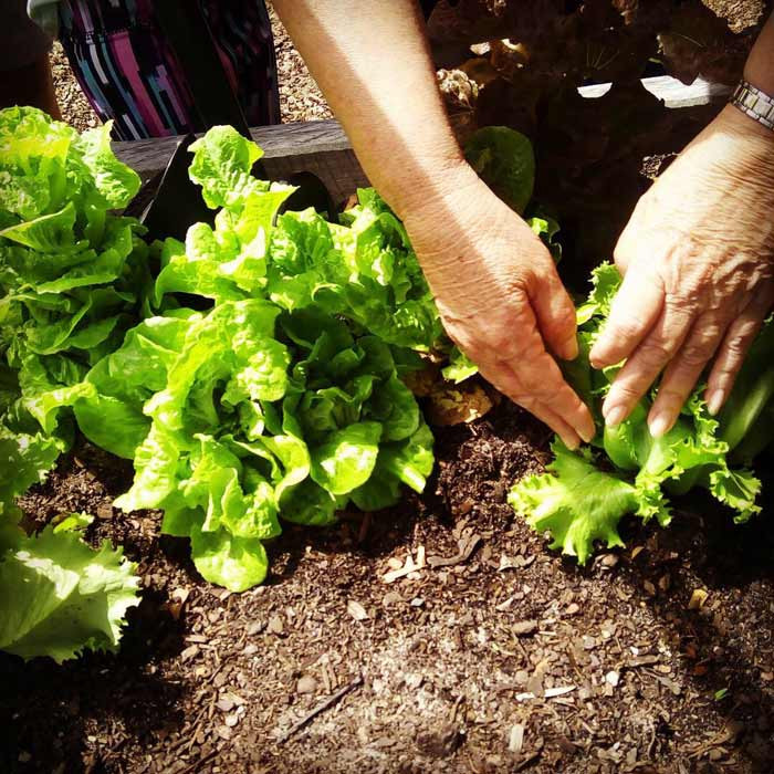 Harvesting Greens - Dragonfly Coolum Beach Childcare