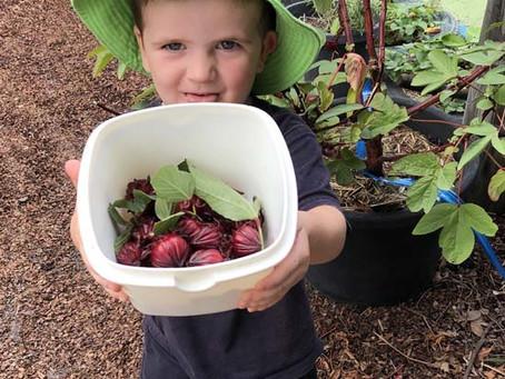 Harvesting the Rosellas