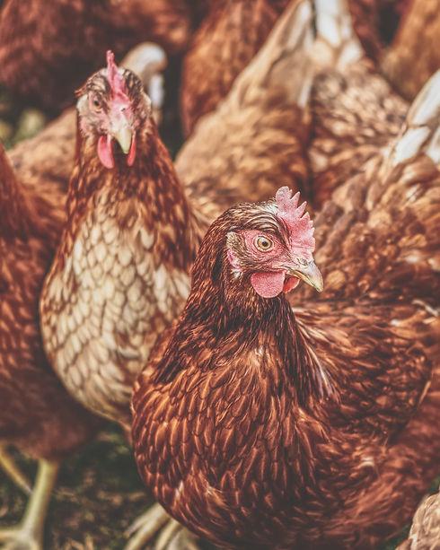 flock-of-brown-hens-2129654.jpg